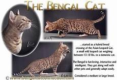 Bengal Cat Size Chart Gift Shop Bengal Cats Bengals Illustrated