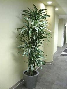 Dracaena Low Light 30 Best Low Light Solutions Images On Pinterest Indoor