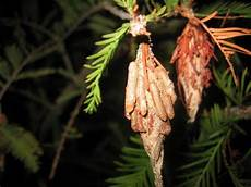 How To Treat Bagworms Bagworm Control How To Get Rid Of Bagworms