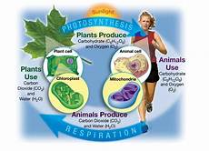 Cell Processes Photosynthesis And Respiration