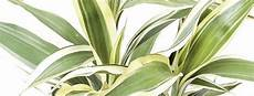 Dracaena Low Light 6 Indoor Plants That Love The Dark Plant Care Interiorscapes