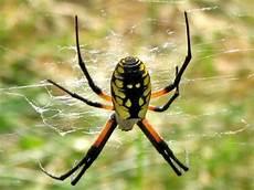 Oklahoma Spiders Identification Chart Oklahoma Spiders Pictures And Spider Identification