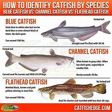 Flathead Catfish Length Weight Chart Best Catfish Bait The Top 5 Catfish Baits Made Simple