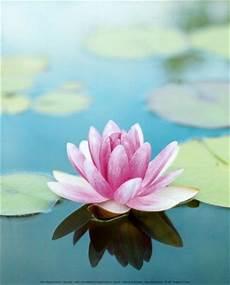 Flor De Lotus Lotus Mudra Grow Through What You Go Through Goa