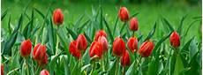 tulipani fiori il mondo in un giardino un parco di tulipani