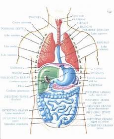 organi interni corpo umano ricerche correlate a corpo umano organi interni fegato