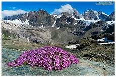 immagini piã di fiori report fiori alta quota alpine flowers fiori di montagna