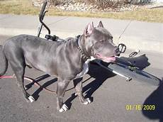 Designer Pitbulls Cost How Much Did You Pay To Get Your Dog S Ears Cropped Page