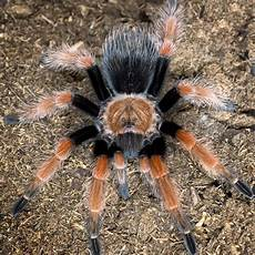 Tarantula Chart 10 Best Tarantula Species To Keep As Pets