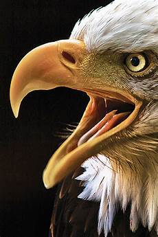 iphone 6s wallpaper hd eagle eagle iphone wallpaper hd