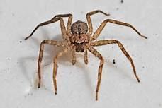 Light Brown Spider Florida Nursery Web Spider Or Wolf Spider South Florida