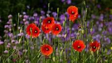 poppy flower wallpaper iphone poppy hd wallpaper background image 1920x1080 id