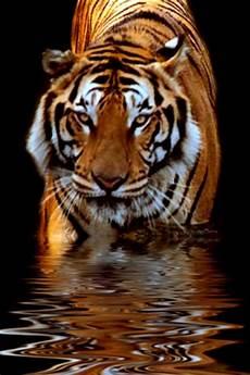 tiger wallpaper iphone 7 42 tiger iphone wallpaper on wallpapersafari