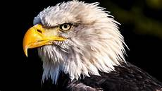 iphone 6s wallpaper hd eagle bald eagle 4k wallpaper hd wallpaper background