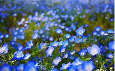 Cute Blue Images Blue Flower Hd Wallpapers