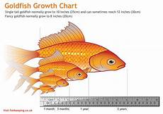 Baby Betta Growth Chart Goldfish And Their Diet Injaf
