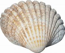 Sea Shells Background Sea Shell No Background Png Image Sealife Graphics