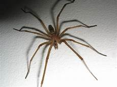 Light Brown Spider Florida How To Tell If A Spider Is Not A Brown Recluse Spiderbytes