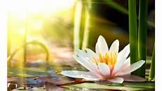 Flor De Lotus Flor De L 243 Tus Rosa Com Mel O Blog Do Mundo Hol 237 Stico