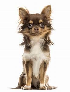 lille hund chihuahua langh 229 ret er en lille hund med stor selvtillid