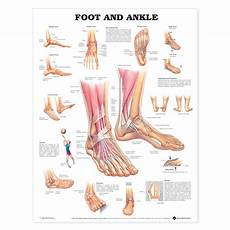 Foot Anatomy Chart Foot And Ankle Chart 6020
