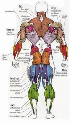 Full Body Anatomy Chart Pin By Plus Nutrition On Bodybuilding Muscle Anatomy