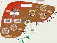 Statin Mechanism Of Action Statins And Pcsk9 Inhibitors Defining The Correct