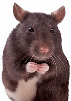 rat 3d 174 pet products3d 174 pet products