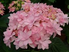 hydrangea you me 003 planthaven international