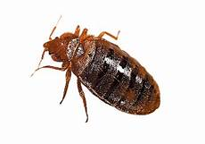 bed bug png hd quality png play