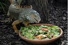 Iguana Food Chart What Does An Iguana Eat Best Food And Diet To Provide