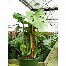 Monstera Deliciosa Light Our Range The Widest Range Of Tools Lighting