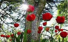 flower wallpapers for pc desktop beautiful picture desktop background widescreen tulip