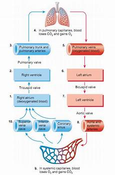 Chart Of Blood Flow Through Heart Blood Flow Of The Heart