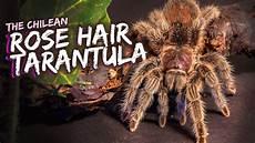 Tarantula Chart Rose Hair Tarantulas Facts Amp Microscope Closeups Youtube
