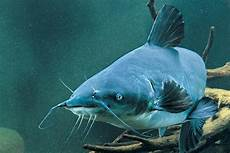 Flathead Catfish Length Weight Chart Blue Catfish Length To Weight Conversion Chart In Fisherman