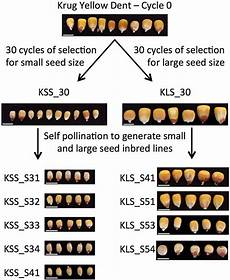 Mustard Seed Size Chart Insights Into The Effects Of Long Term Artificial