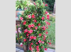 Hometalk   Mandevilla Vine in Connecticut Garden