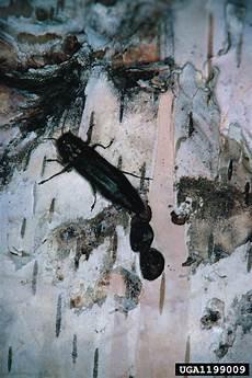 Bronze Birch Borer Bronze Birch Borer Agrilus Anxius On Birch Betula Spp