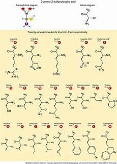 Amino Acid Benefits Chart Protein Illustrations And Visualization Ask A Biologist
