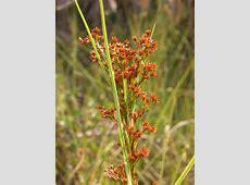 Leon Levy Native Plant Preserve   Plant Listings   Cladium