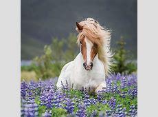 Trotting Icelandic Horse II, Lupine Fields, Iceland Art