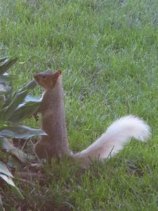unique white tailed squirrels the talk of osage local