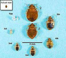 bed bugs appearance and cycle bed bugs get them