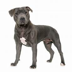 Staffordshire Bull Terrier Weight Chart Staffordshire Bull Terrier Dog Breed 187 Everything About