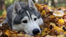 supreme chion wallpaper alaskan malamute wallpaper 60 images