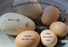 How Big Are Silkie Eggs Backyard Chickens Learn How
