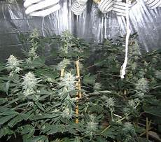 Led Lights Or Hps For Growing How To Grow Pot With Cfl Grow Lights