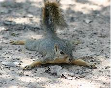 Where Do Squirrels Live Sleeping And Nesting Habits Of Squirrels