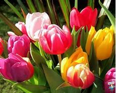 tulipani fiori pin di tulipani sfondi fiori colorati widescreen on